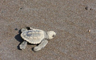 Costa Rica Turtle Watching: Ostional Wildlife Refuge